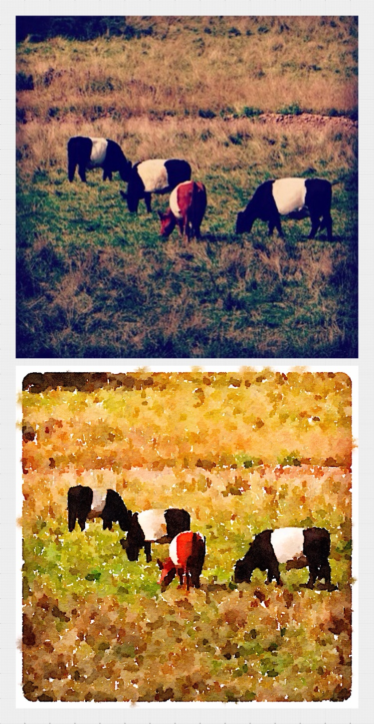 Grazing Belties in Wisconsin.