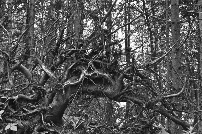 Magnificent sculptural roots of a fallen tree.